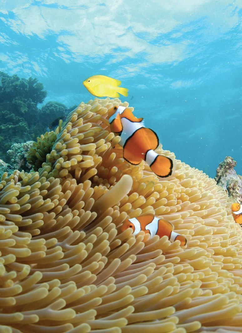 Clownfish in the reef